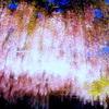 ライトアップされた藤の花