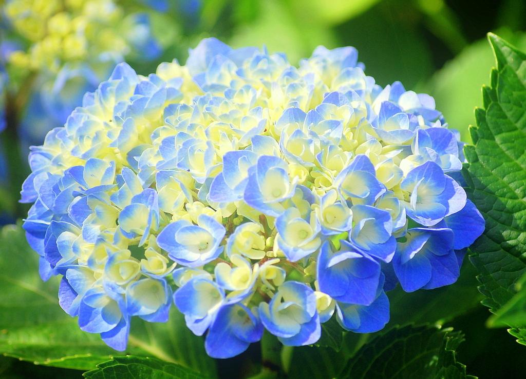 紫陽花2009
