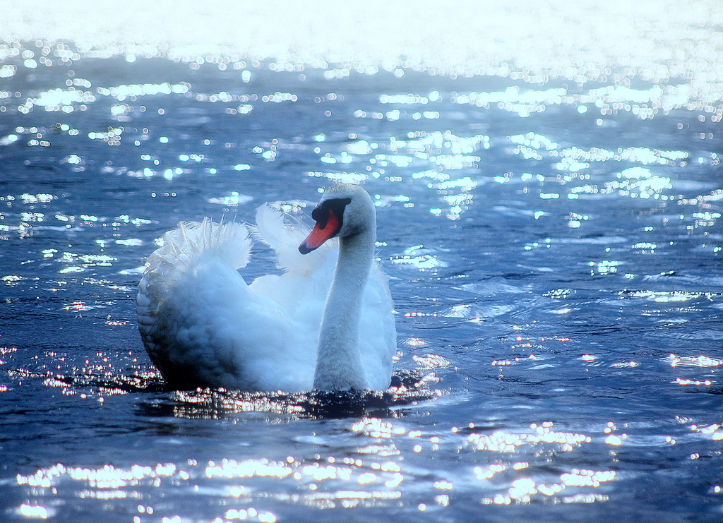 いむた池の白鳥