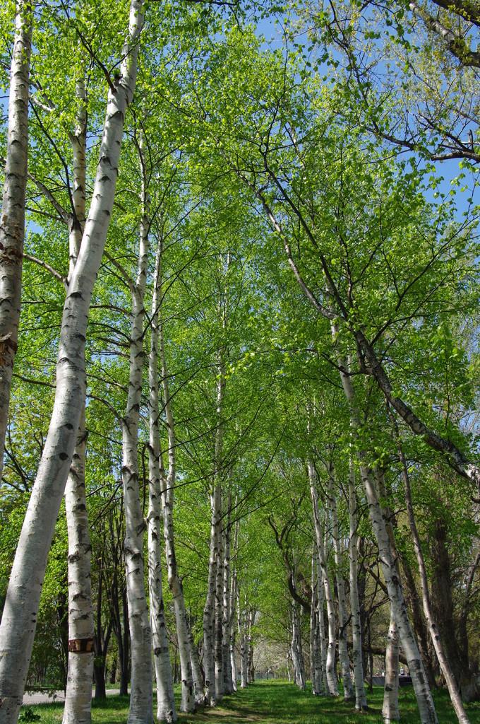若葉の並木道