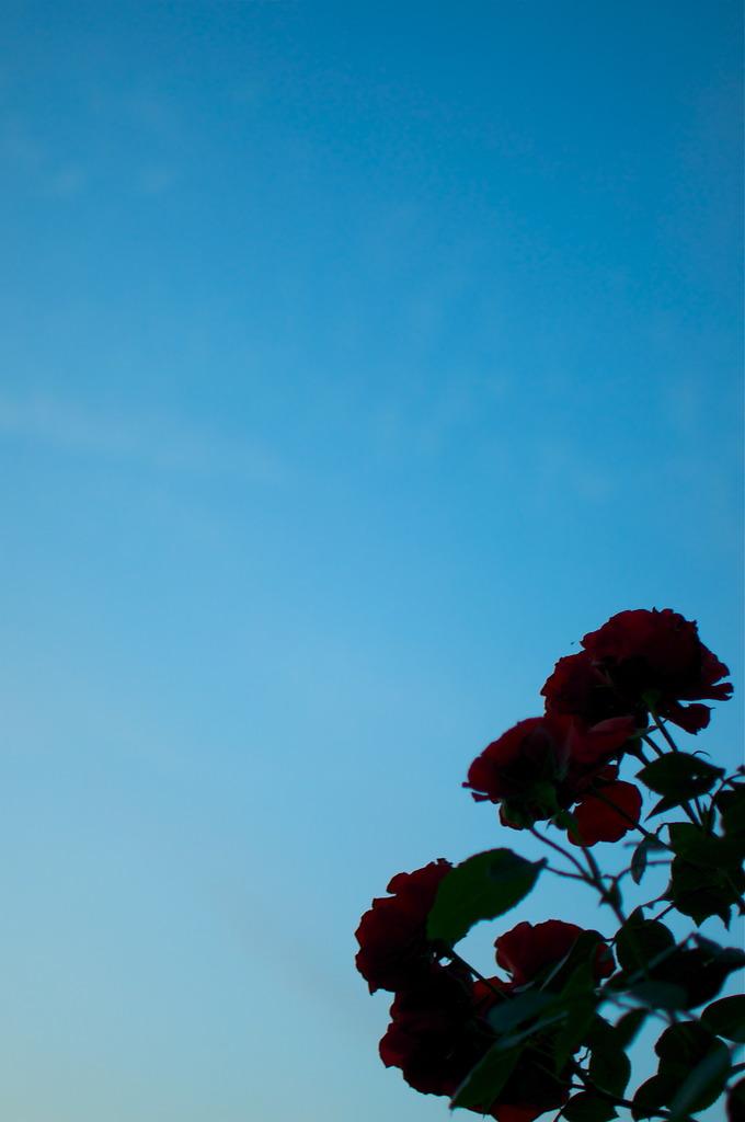 Twilight Rose