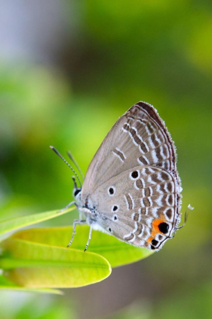 Island Butterfly