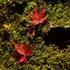キャンバス上の紅葉