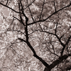 SAKURA monochrome