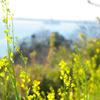 菜の花と清水港