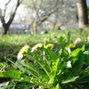タンポポ達のお花見