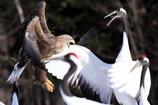 丹頂鶴とオジロワシの戦い