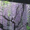 藤のカーテン