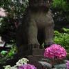 狛犬と紫陽花