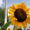下町の向日葵