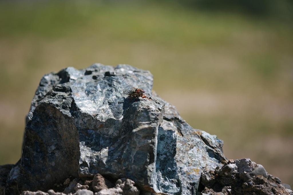 岩の上のセミ