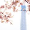桜をまとったスカイツリー