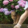 美脚と猫とアジサイと