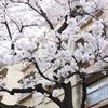 古団地と桜