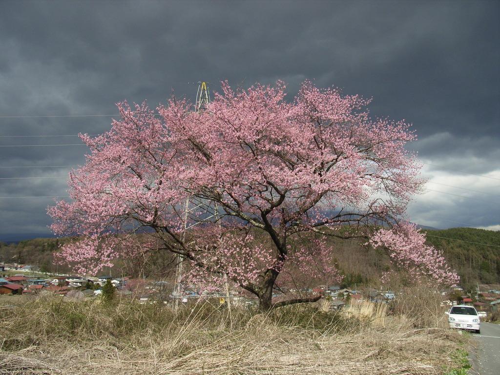 名もなき桜
