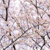 SAKURA 春爛漫