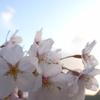 sakura at seaside