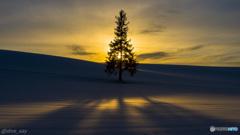 夕暮れのクリスマスツリーの木