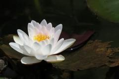 モネの池~睡蓮