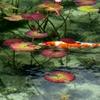 モネの池~錦