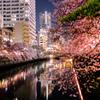 大岡川酔桜
