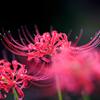 お彼岸の花Ⅱ
