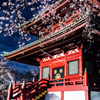 山寺夜桜②