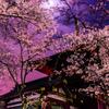山寺夜桜①