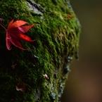 NIKON NIKON D2Xで撮影した(紅葉一枚)の写真(画像)