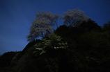 春の宵に月あかりで桜を撮る(10mm)
