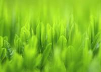 NIKON NIKON D7200で撮影した(Green Tea)の写真(画像)