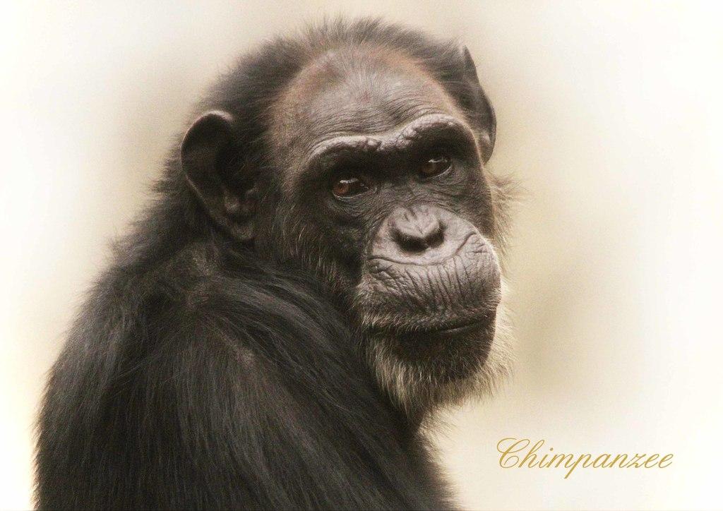 チンパンジーの画像 p1_13