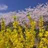 桜archives2012:連翹と桜