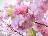 手毬桜~紅豊
