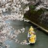 桜、川下り