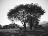寄り添う木