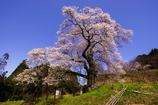 大きなノッポの古桜