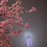 東京スカイツリー20 河津桜と雲隠れしたスカイツリー