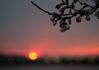 FUJIFILM X-M1で撮影した(レイクタウンの桜2)の写真(画像)