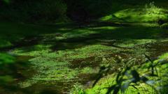 五色沼の緑