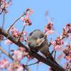 桜withトルネードピヨー