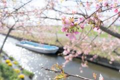 笠松河津桜