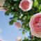 薔薇の散歩道 2