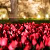 桜とチューリップ--京の桜便り05