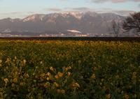 CANON Canon EOS 7D Mark IIで撮影した(朝陽菜の花)の写真(画像)