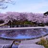 新潟白山公園桜