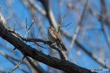 シロハラ 樹上