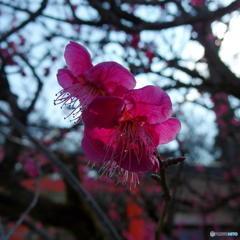 下鴨神社の梅 その3