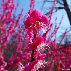 下鴨神社の梅 その4