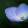 NIKON NIKON Dfで撮影した(マクロ紫陽花)の写真(画像)